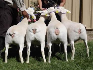 Glenn Land Farm Dexter Cattle & Dorper Sheep